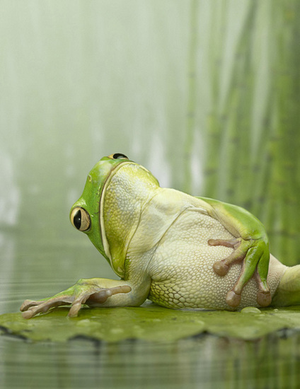 photo-grenouille